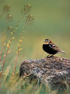 Photo of Chestnut-collared Longspur Calcarius ornatus perched on a rock.