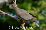 Photo of a Band-tailed Pigeon (Patagioenas fasciata) on a deciduous tree branch