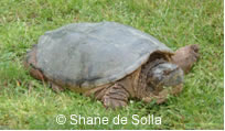 Photo of a Snapping Turtle (Chelydra serpentina) on grass.