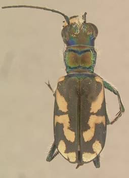 Photo of Wallis' Dark Saltflat Tiger Beetle Cicindela parowana wallisi (dorsal view).