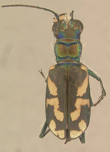 Photo of a Vernon, B.C., Cicindela parowana wallisi specimen housed in the Van Dyke Collection at the California Academy of the Sciences, San Francisco.