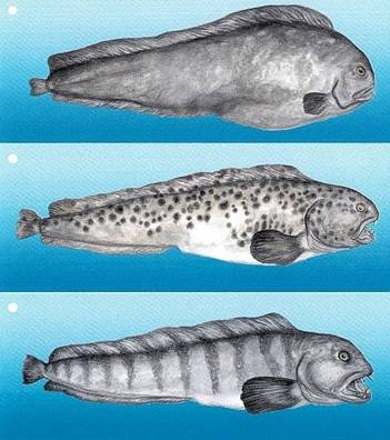 Northern, Spotted and Atlantic Wolffish
