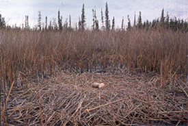 Figure 2:  Typical Whooping Crane nest
