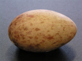 Figure 3: Typical Whooping Crane egg