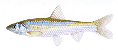 Illustration of Western Silvery Minnow