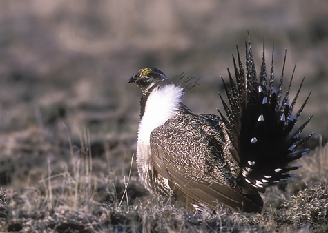 side profile of male Greater Sage-Grouse