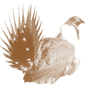 artistic rendition of a Greater Sage-Grouse facing right, tail feathers in the foreground
