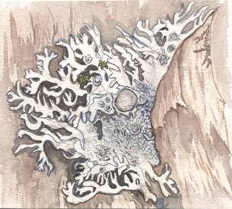 Illustration of the Pale-bellied Frost Lichen Physconia subpallida