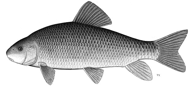 Black and white illustration of an adult Copper Redhorse (lateral view).