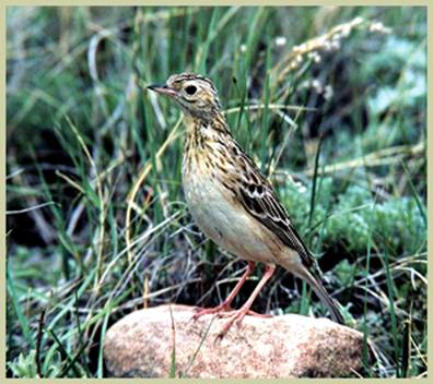 Image of Spragues Pipit