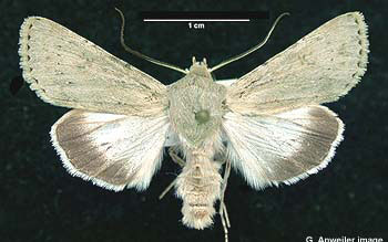Photo of adult male Edwards' Beach Moth from Sidney Spit, British Columbia.
