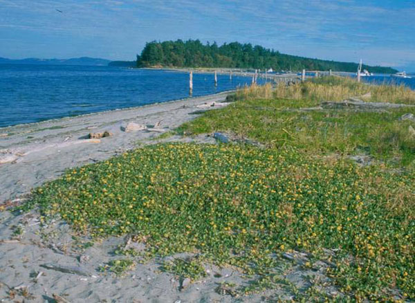 The photos show habitat at (e) a dense patch of Abronia latifolia on Sidney Island, British Columbia