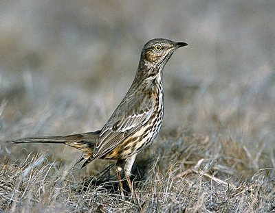 Photo: Sage Thrasher