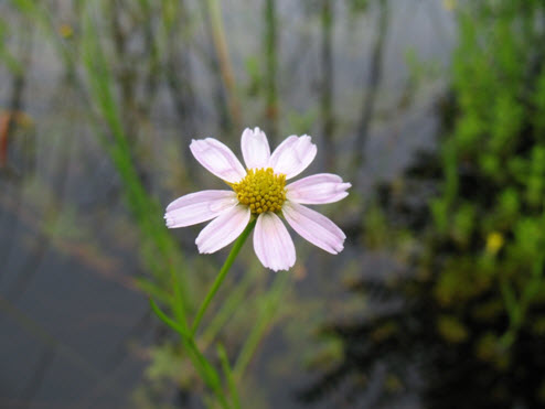 Photo of the Pink Coreopsis (see long description below).