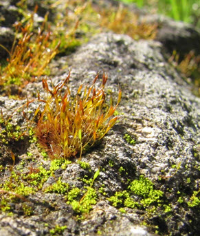 Porter's Twisted Moss growing on an outcrop
