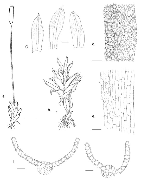 Illustrations of the Porter's Twisted Moss (see long description below)