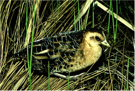 Photo of Yellow Rail