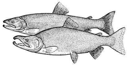 Mature Sockeye Salmon (female above, male below) (reprinted from Scott and Crossman, 1973).