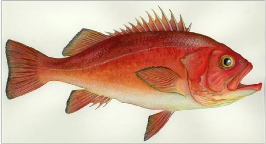 Illustration of a Yelloweye Rockfish Sebastes ruberrimus.