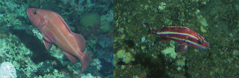 Two photos of Yelloweye Rockfish (see long description below).