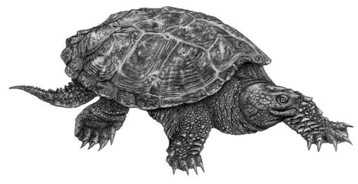 Illustration of the Snapping Turtle Chelydra serpentina.