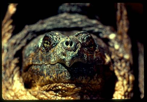 Photo showing a close-up view of the head of an adult male Snapping Turtle.
