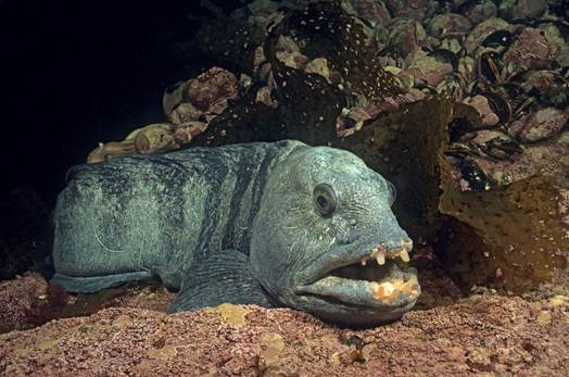 Photo of the Atlantic Wolffish, Anarhichas lupus, illustrating the face and part of the body. The photo shows the typical large pectoral fin, large head with rounded snout, and prominent canine-like teeth in the front of the jaws. The individual shown here is slate blue with dark transverse bars on the body.