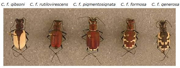 Photo showing single specimens of the five subspecies of Gibson's Big Sand Tiger Beetle (see long description below).