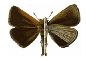 Figure 1 is an illustration of a male Poweshiek Skipperling in both dorsal and ventral view.
