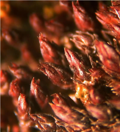 A close-up photograph of a patch (approximately 2.5 mm across) of Columbian carpet moss.