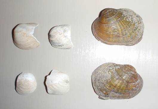 Photo of subfossil Northern Riffleshell valves from the lower Thames River at Big Bend (four specimens on left) and fresh female shell valves (two specimens on right) from the Sydenham River.