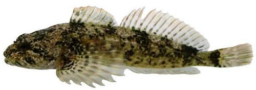 Photo d'un chabot du Columbia (Cottus hubbsi)