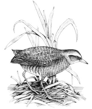 Illustration of a Yellow Rail Coturnicops noveboracensis.