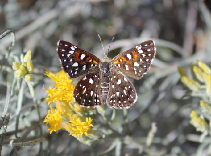 Photo of an adult Mormon Metalmark
