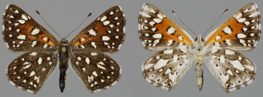 Southern Mountain Population Mormon Metalmark. Dorsal (left) and ventral (right)