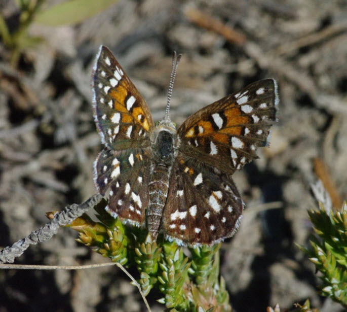 Dorsal view of Prairie Population Mormon Metalmark