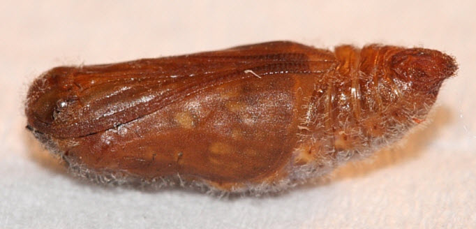 Mormon Metalmark pupa from Utah