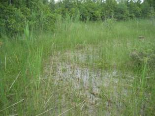 Photo of a fen pool with many Bogbean Buckmoth larvae at White Lake Fen in July 2008.