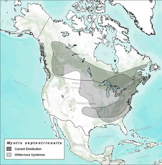 Map of the approximate distribution of the Northern Myotis and White-nose Syndrome, as of October 2011. New information indicates that the distribution in Newfoundland should extend over the entire Island, except the Avalon Peninsula, and the distribution in western Canada should extend westward into Yukon Territory to near the Alaskan panhandle.