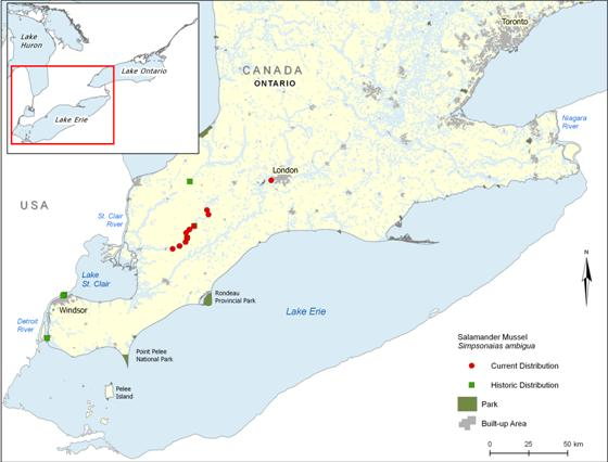 Map of the current and historic distribution of the Salamander Mussel Simpsonaias ambigua in Canada. The current distribution includes records of live animals or fresh shells collected since 1996.