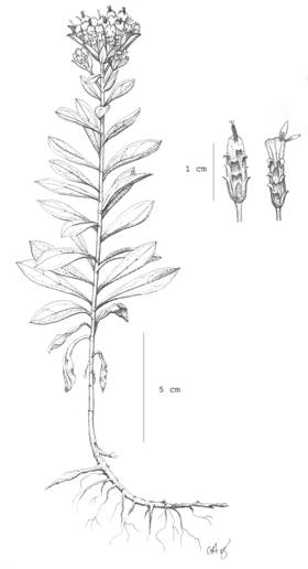 Illustration of the growth form of the White-top Aster. An inset shows the protruding anthers and the very few ray florets.