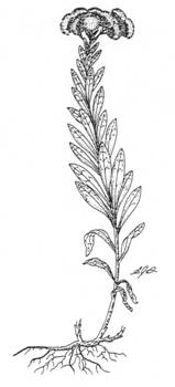 Illustration de l'aster rigide (Sericocarpus rigidus).