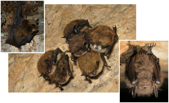 Little Brown Myotis, Northern Myotis, Tri-colored Bat