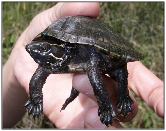 Photo of the Eastern Musk Turtle (see long description below).