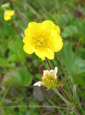 Close-up photo of the flower of Eastern Mountain Avens Geum peckii at Brier Island, Nova Scotia.