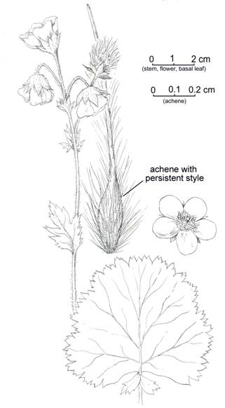 Illustration of the Eastern Mountain Avens showing leaves, flowers and achene.
