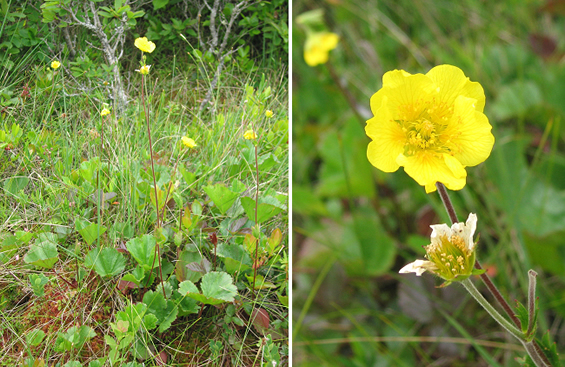 Two photos of the Eastern Mountain Avens at Brier Island, Nova Scotia. One photo shows a clump; the other is a close-up of the flower.