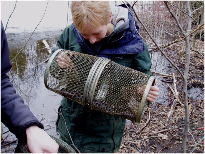 Salamanders are  collected using minnow traps