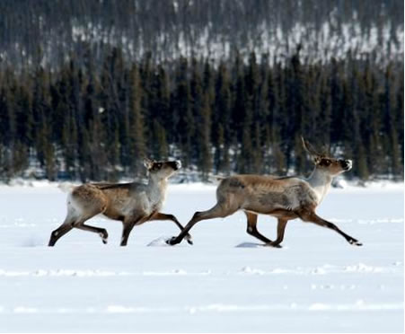 Photograph of two boreal caribou running through the snow.