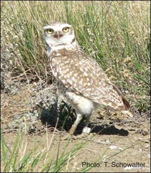 Photo of Burrowing Owl with leg-bands
